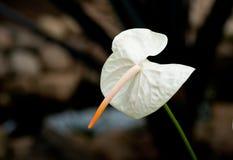 Άνθιση λουλουδιών φλαμίγκο Στοκ εικόνα με δικαίωμα ελεύθερης χρήσης