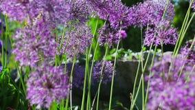 Άνθιση λουλουδιών απόθεμα βίντεο