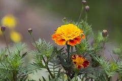Άνθιση λουλουδιών Στοκ εικόνα με δικαίωμα ελεύθερης χρήσης