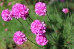 Άνθιση λουλουδιών Armeria από κοινού Στοκ φωτογραφίες με δικαίωμα ελεύθερης χρήσης