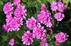 Άνθιση λουλουδιών Armeria από κοινού Στοκ Φωτογραφίες