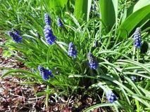 Άνθιση λουλουδιών Muscari την πρώιμη άνοιξη Στοκ Εικόνες