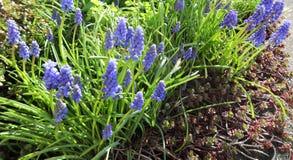 Άνθιση λουλουδιών Muscari την πρώιμη άνοιξη Στοκ φωτογραφίες με δικαίωμα ελεύθερης χρήσης