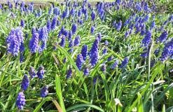 Άνθιση λουλουδιών Muscari την πρώιμη άνοιξη Στοκ Φωτογραφία