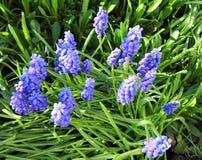 Άνθιση λουλουδιών Muscari την πρώιμη άνοιξη Στοκ φωτογραφία με δικαίωμα ελεύθερης χρήσης