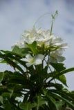 Άνθιση λουλουδιών pudica Plumeria στο δέντρο Στοκ φωτογραφίες με δικαίωμα ελεύθερης χρήσης