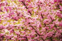 Άνθιση λουλουδιών Sakura Στοκ εικόνες με δικαίωμα ελεύθερης χρήσης