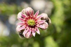 Άνθιση στον κήπο Στοκ φωτογραφία με δικαίωμα ελεύθερης χρήσης