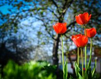 Άνθιση τουλιπών στον κήπο ημέρα ηλιόλουστη Στοκ Εικόνες