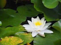 Άνθιση του άσπρου Lotus στοκ φωτογραφία με δικαίωμα ελεύθερης χρήσης