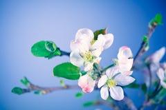 Άνθιση του δέντρου μηλιάς Στοκ Φωτογραφία