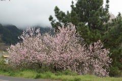 Άνθιση του λουλουδιού αμυγδάλων Στοκ εικόνα με δικαίωμα ελεύθερης χρήσης