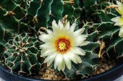 Άνθιση του λουλουδιού κάκτων Στοκ Φωτογραφία
