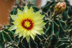 Άνθιση του λουλουδιού κάκτων Στοκ Φωτογραφίες