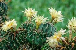 Άνθιση του λουλουδιού κάκτων Στοκ φωτογραφία με δικαίωμα ελεύθερης χρήσης