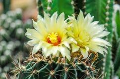 Άνθιση του λουλουδιού κάκτων Στοκ εικόνα με δικαίωμα ελεύθερης χρήσης