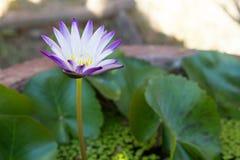 Άνθιση του Lotus Waterlily στοκ φωτογραφίες
