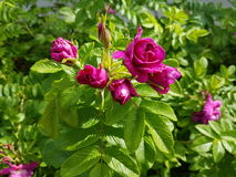 Άνθιση τριαντάφυλλων για πάντα Στοκ Εικόνες