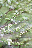 Άνθιση των μικροσκοπικών άσπρων λουλουδιών Στοκ Εικόνες