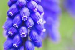 άνθιση υάκινθων στον κήπο στοκ εικόνα