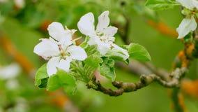 Άνθιση υποβάθρου ενός δέντρου μηλιάς απόθεμα βίντεο