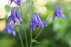 Άνθιση, υπόβαθρο, bluebell, άνθιση, χλωρίδα, χρώμα, ομορφιά, μακροεντολή στοκ φωτογραφία με δικαίωμα ελεύθερης χρήσης