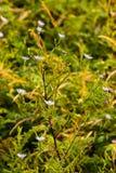 άνθιση χλωμό χρωματισμένο lavender aster' βαθύτερος πράσινος του s agains στοκ φωτογραφία με δικαίωμα ελεύθερης χρήσης
