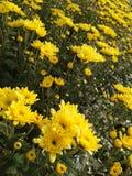 Άνθιση χρυσάνθεμων στον κήπο Στοκ Εικόνες