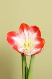 Άνθιση Amaryllis Στοκ εικόνα με δικαίωμα ελεύθερης χρήσης
