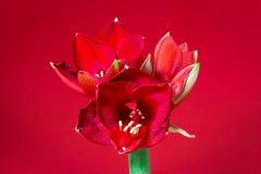 Άνθιση Amaryllis στοκ φωτογραφίες με δικαίωμα ελεύθερης χρήσης
