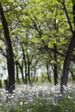 Άνθιση Anemones την άνοιξη στο δάσος Στοκ Εικόνες