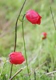 Άνθιση Anemones Στοκ φωτογραφία με δικαίωμα ελεύθερης χρήσης