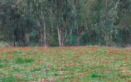 Άνθιση Anemones Στοκ εικόνες με δικαίωμα ελεύθερης χρήσης