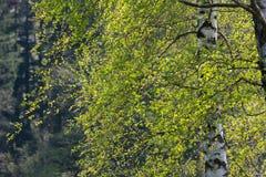 άνθιση appletree στη νότια Γερμανία Στοκ Εικόνα