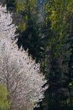 άνθιση appletree στη νότια Γερμανία Στοκ εικόνα με δικαίωμα ελεύθερης χρήσης