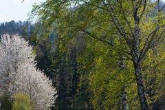 άνθιση appletree στη νότια Γερμανία Στοκ Φωτογραφία