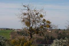 άνθιση appletree στη νότια Γερμανία Στοκ Εικόνες