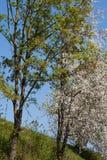 άνθιση appletree στη νότια Γερμανία Στοκ εικόνες με δικαίωμα ελεύθερης χρήσης