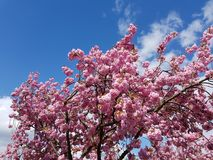 Άνθιση Appletrees και Cherrytrees Στοκ Φωτογραφία