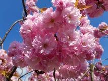 Άνθιση Appletrees και Cherrytrees Στοκ Φωτογραφίες
