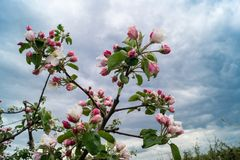 Άνθιση Appletrees και Cherrytrees Στοκ φωτογραφίες με δικαίωμα ελεύθερης χρήσης