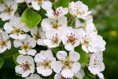 Άνθιση Appletrees και Cherrytrees Στοκ εικόνες με δικαίωμα ελεύθερης χρήσης