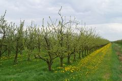 Άνθιση Appletrees και Cherrytrees Στοκ Εικόνες