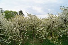 Άνθιση Appletrees και Cherrytrees Στοκ Εικόνα