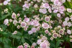 Άνθιση Astrantia σημαντική Rosa Lee masterwort στο θερινό κήπο στοκ φωτογραφίες με δικαίωμα ελεύθερης χρήσης