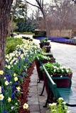 Άνθιση Daffodil με τους πάγκους πάρκων στοκ εικόνες