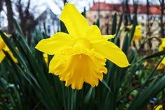 Άνθιση Daffodil Στοκ φωτογραφίες με δικαίωμα ελεύθερης χρήσης