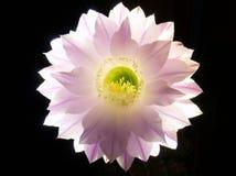 Άνθιση Eyriesil Echinopsis στα μεσάνυχτα Στοκ εικόνες με δικαίωμα ελεύθερης χρήσης