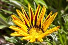 Άνθιση Gaillardia ή γενικό λουλούδι Στοκ φωτογραφία με δικαίωμα ελεύθερης χρήσης