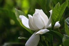 Άνθιση Gardenia Στοκ φωτογραφία με δικαίωμα ελεύθερης χρήσης